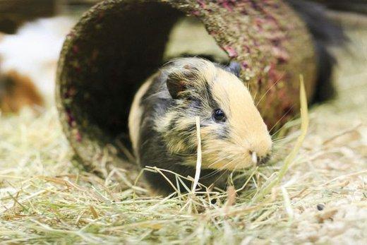 meerschweinchen haltung das ideale gehege. Black Bedroom Furniture Sets. Home Design Ideas